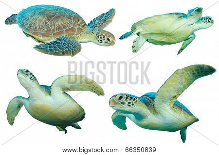 Green Sea Turtles isolated on white background