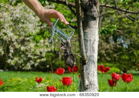 Hand And Dead Mole Iron Trap On Garden Background