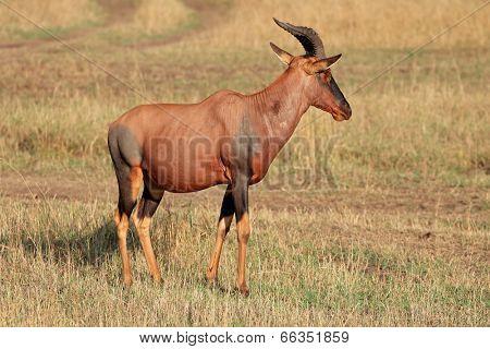 A topi antelope (Damaliscus korrigum), Masai Mara National Reserve, Kenya