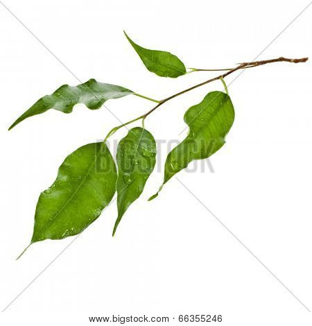 green leaves of ficus tree close up isolated on white background