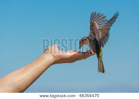 Yellow Chaffinch Eating Peanuts From A Womans Hand