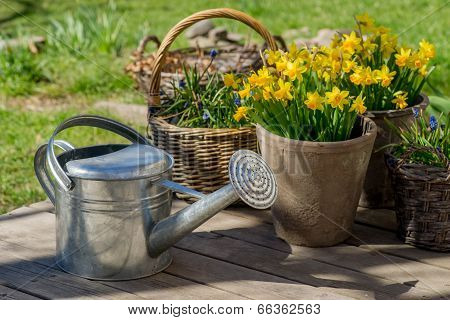Narcissus Bloom In Flowerpot On Wooden Terrace Next To Galvanized Watering Can