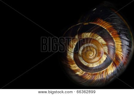 Spiral snail shell on black background