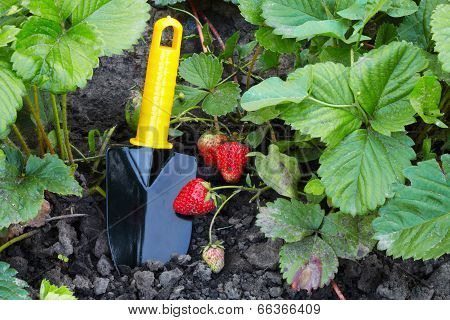 The Strawberry And Horticultural Sundry