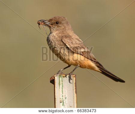 Say's Phoebe With Cicada In Beak