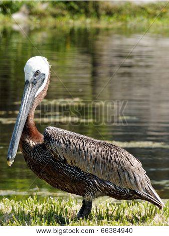 Brown Pelican by Lake