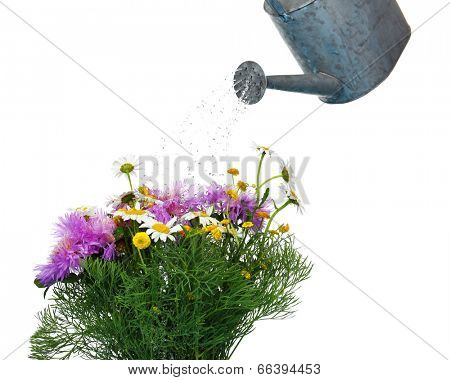 Water can watering flowers isolated on white