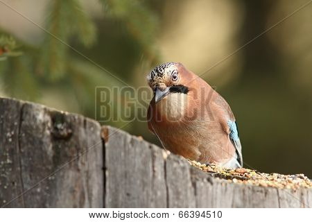 Curious Jay At Seed Feeder