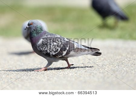 Feral Pigeon On The Park