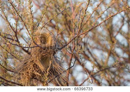 Closeup of philetairus socius nest