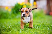 stock photo of staffordshire-terrier  - staffordshire bull terrier puppy outdoors in summer - JPG