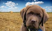 stock photo of chocolate lab  - young labrador retriever puppy - JPG