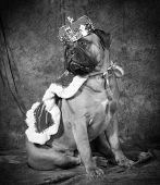 pic of bull-mastiff  - spoiled dog wearing king costume in black and white - JPG