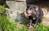 stock photo of vicious  - Tasmanian Devil showing his nice clean teeth.