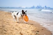 stock photo of bulldog  - French bulldog playing on the beach at Baltic Sea - JPG