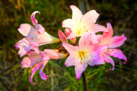 picture of belladonna  - Amaryllis belladonna is a native of the Western Cape region of South Africa - JPG