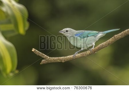 Tanager Blue-gray