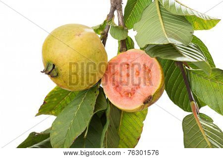 two organic, biologic cultivated, guavas, one cut in half in a tree branch isolated on white