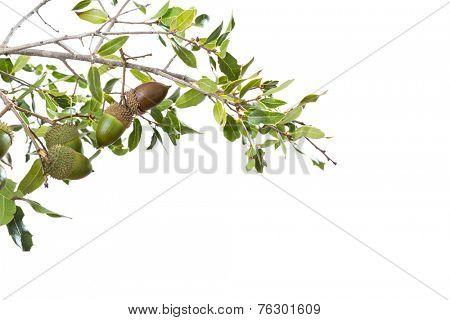 wild acorn bush isolated on white