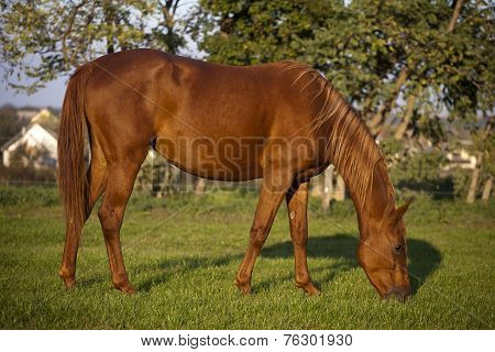 Peaceful pregnant mare grazing in summer corral