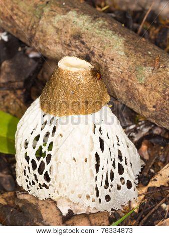 Tropical Fungus Phallus Indusiatus