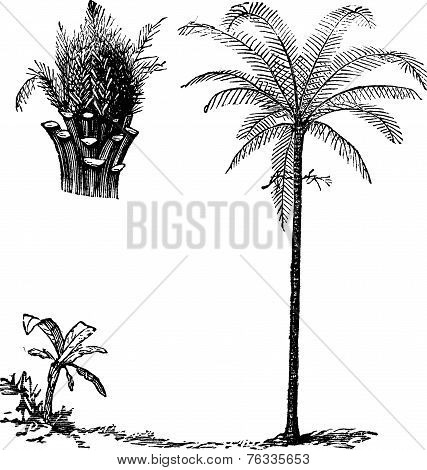 Royal Palm Or Roystonea Regia, Vintage Engraving