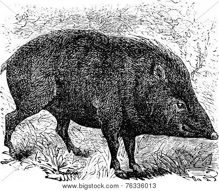 Collared Peccary Or Pecari Tajacu Vintage Engraving