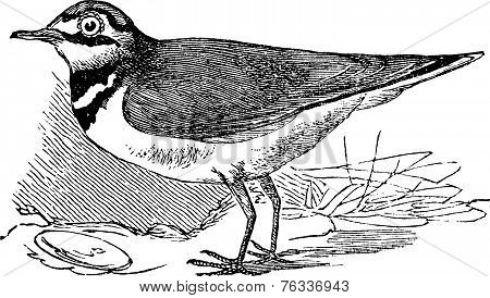 Ringed Plover Or Charadrius Hiaticula, Vintage Engraving