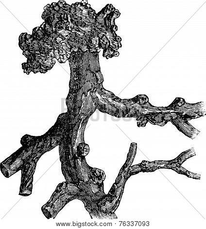 Senega Root Or Milkwort Or Snakeroot Or Polygala Senega, Vintage Engraving