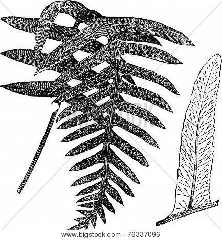 Polypody Or Polypodium Vulgare, Vintage Engraving