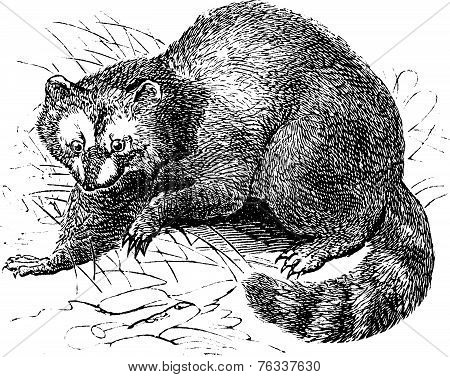 Raccoon Or Procyon Lotor Vintage Engraving