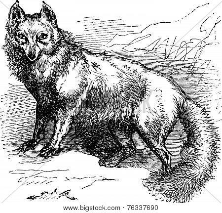Arctic Fox Or Vulpes Lagopus Vintage Engraving