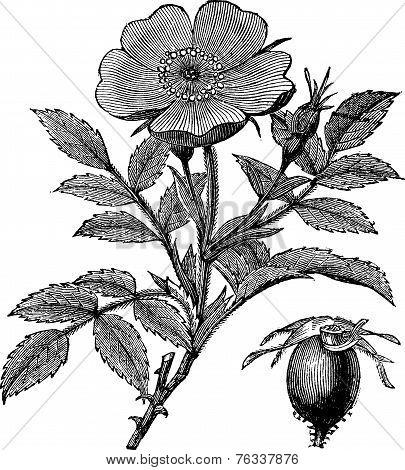 Sweet Briar Or Rosa Rubiginosa Vintage Engraving