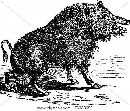 Wild Boar Or Sus Scrofa Vintage Engraving