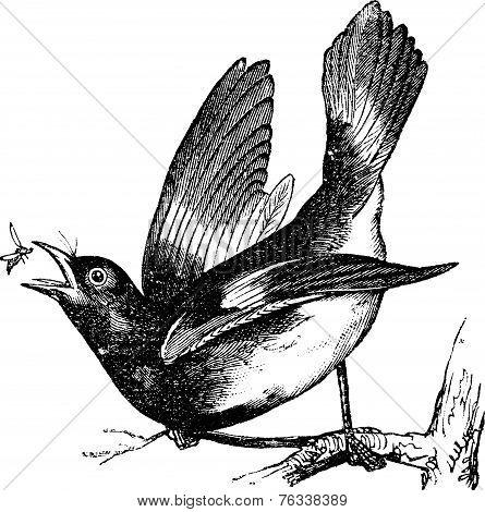 American Redstart Or Setophaga Ruticilla Vintage Engraving