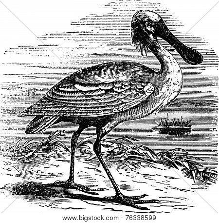 Eurasian Spoonbill Or Platalea Leucorodia Vintage Engraving