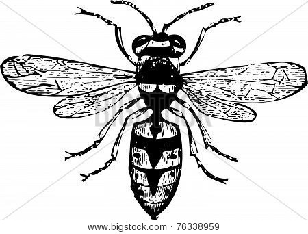 Old Wasp Engraving, Vespa Vulgaris