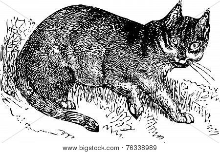 Wild Cat Old Illustration