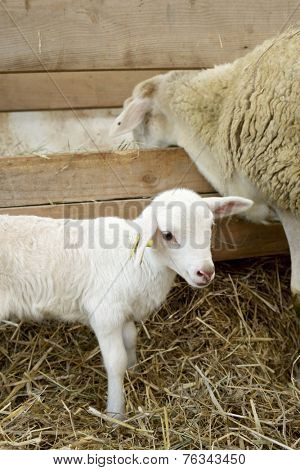 Lamb with his mother in a pen.