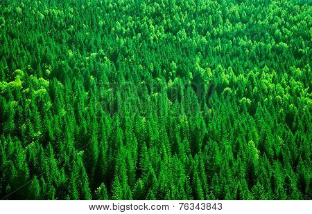 Evergreen fir tree background, bird eye view on fresh pine forest, beautiful abstract natural backdrop, beauty of wild nature