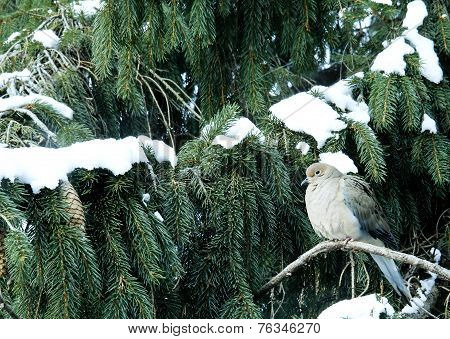 Mourning Dove On A Snow Covered Pine Tree