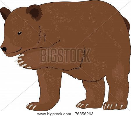 Bear Or Ursus Arctos, Illustration