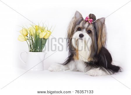 dog Biewer Yorkshire Terrier with flowers on white background