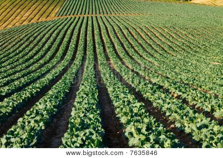 California Cabbage Field