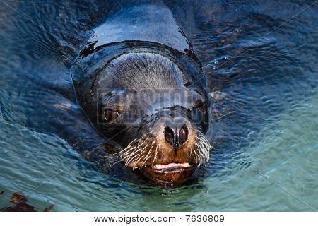 California Sea Lion Going For a Swim