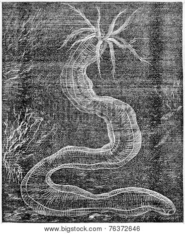 Synapte Vintage Engraving