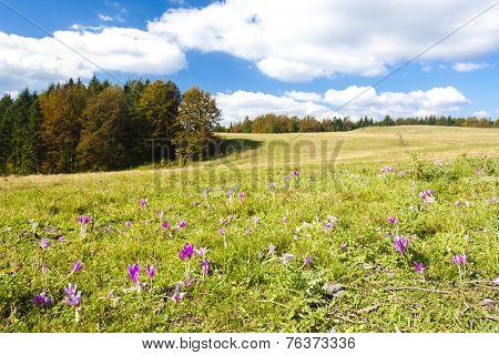 meadow in blossom, Nizke Tatry (Low Tatras), Slovakia