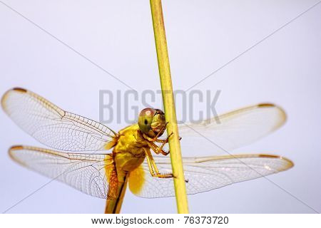 Portrait Of Dragonfly - Yellow Dragonfly