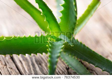 Aloe Vera leaves on white background