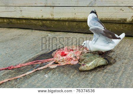 Seagull Feeding